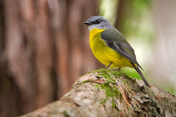 Eastern Yellow Robin Photo @ Kiwifoto.com