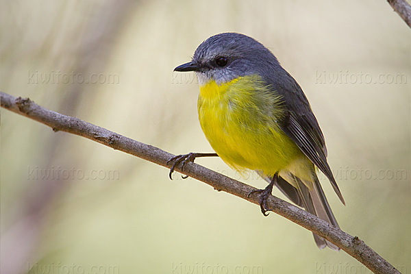 Eastern Yellow Robin @ Lemon Tree Passage, New South Wales, Australia