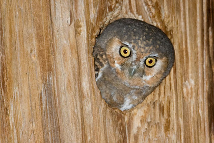 Elf Owl (Female in nest)