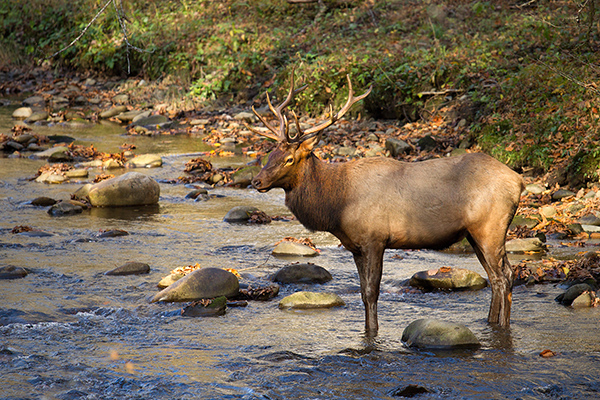 Elk @ Great Smoky Mountains, TN