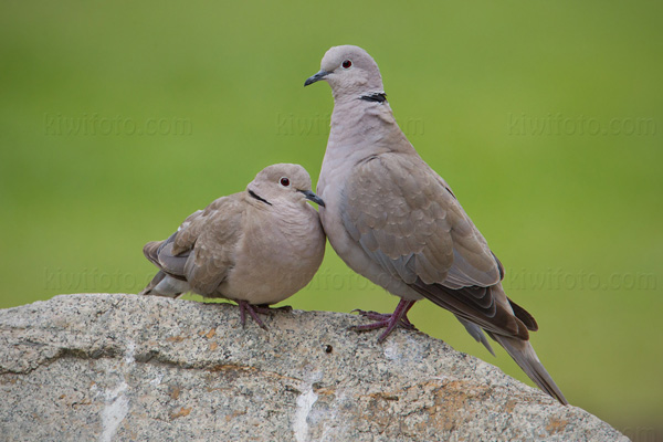 Eurasian Collared-Dove Photo @ Kiwifoto.com