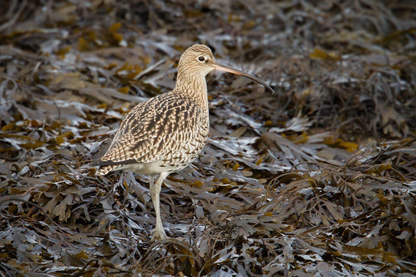 Eurasian Curlew Photo @ Kiwifoto.com