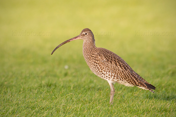 Eurasian Curlew Picture @ Kiwifoto.com