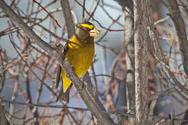 Evening Grosbeak Photo @ Kiwifoto.com