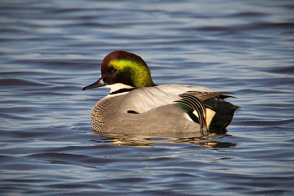Falcated Duck Image @ Kiwifoto.com