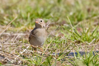 Field Sparrow Picture @ Kiwifoto.com