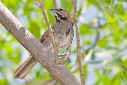 Five-striped Sparrow Picture @ Kiwifoto.com