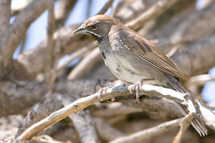 Five-striped Sparrow Photo @ Kiwifoto.com