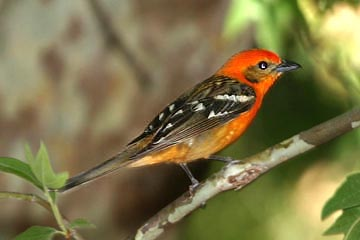 Flame-colored Tanager Picture @ Kiwifoto.com