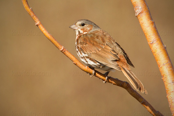 Fox Sparrow Photo @ Kiwifoto.com