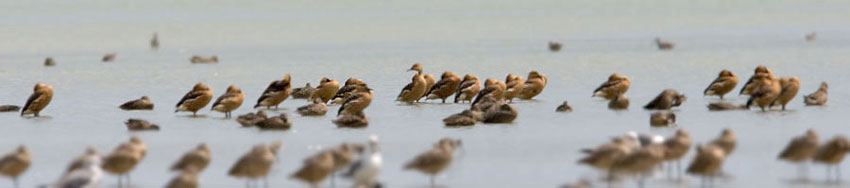 Fulvous Whistling-Duck Photo @ Kiwifoto.com