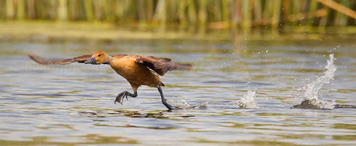 Fulvous Whistling-Duck Image @ Kiwifoto.com