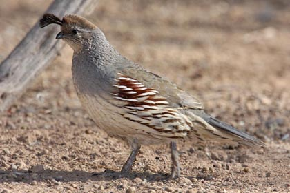 Gambel's Quail Photo @ Kiwifoto.com