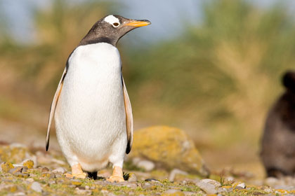 Gentoo Penguin Photo @ Kiwifoto.com