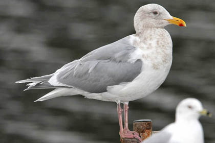 Glaucous-winged Gull Photo @ Kiwifoto.com