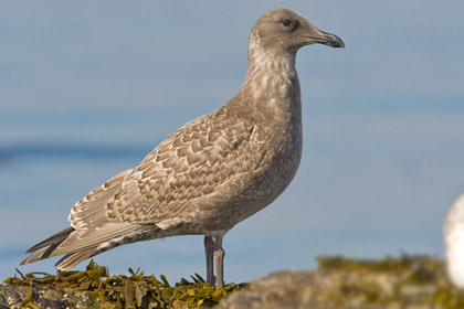 Glaucous-winged Gull (1st Cycle juvenile)