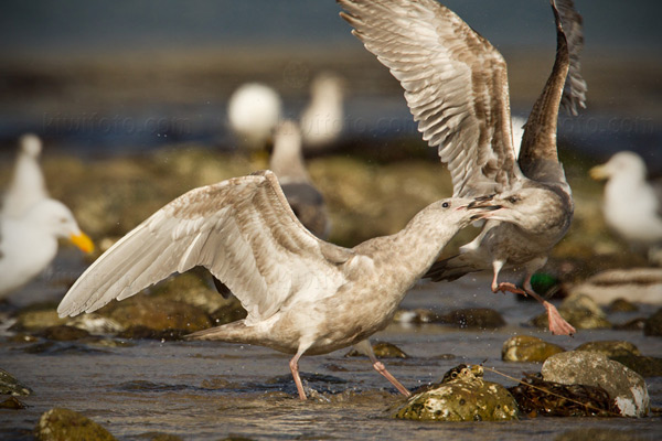 Glaucous-winged Gull ([left], Western Gull [right])