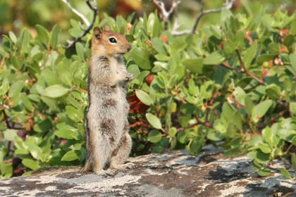 Golden-mantled Ground Squirrel Photo @ Kiwifoto.com