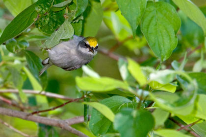 Golden-winged Warbler (female)