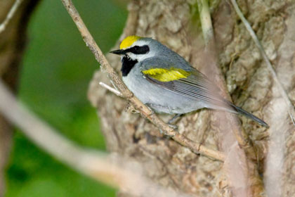 Golden-winged Warbler Picture @ Kiwifoto.com