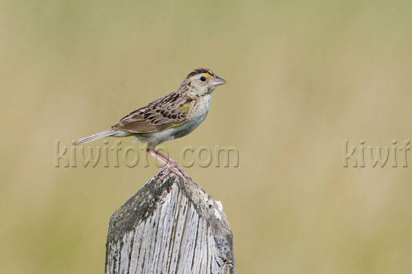 Grasshopper Sparrow Photo @ Kiwifoto.com