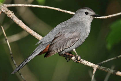 Gray Catbird Photo @ Kiwifoto.com