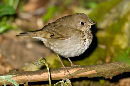 Gray-cheeked Thrush Picture @ Kiwifoto.com