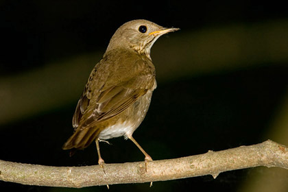 Gray-cheeked Thrush Photo @ Kiwifoto.com