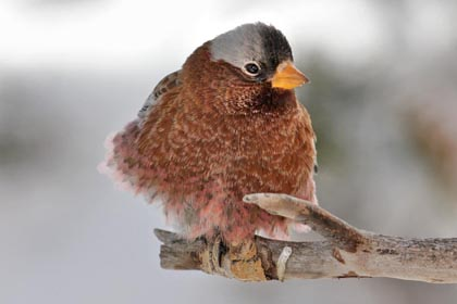 Gray-crowned Rosy-Finch Image @ Kiwifoto.com
