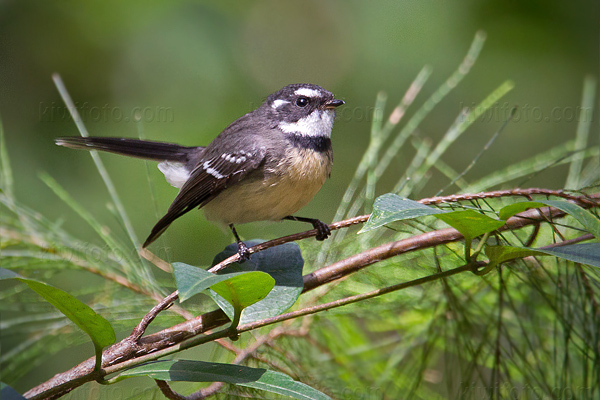 Gray Fantail Photo @ Kiwifoto.com