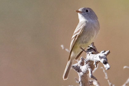 Gray Flycatcher Picture @ Kiwifoto.com