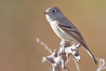 Gray Flycatcher Photo @ Kiwifoto.com