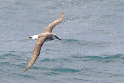 Gray-headed Albatross Image @ Kiwifoto.com