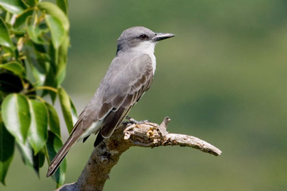 Gray Kingbird Picture @ Kiwifoto.com