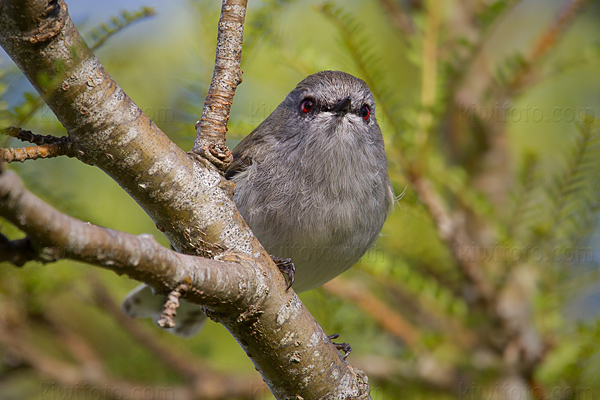 Gray Warbler Photo @ Kiwifoto.com