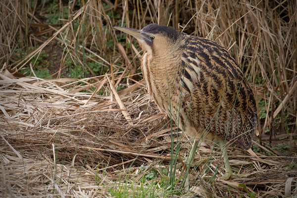 Great Bittern Picture @ Kiwifoto.com