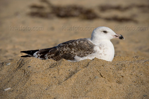 Great Black-backed Gull (2nd cycle)