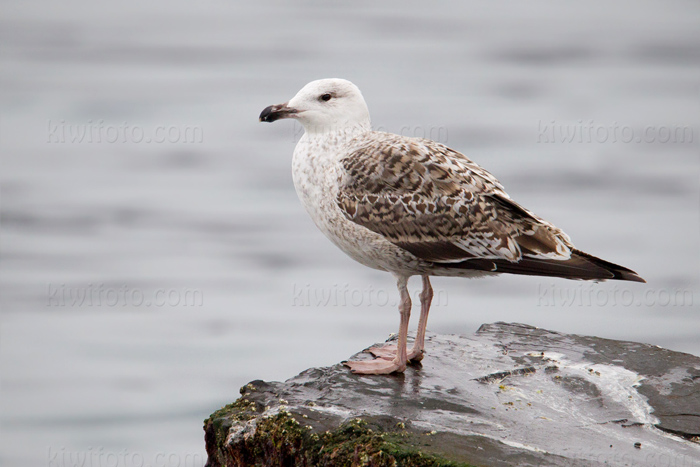 Great Black-backed Gull Picture @ Kiwifoto.com