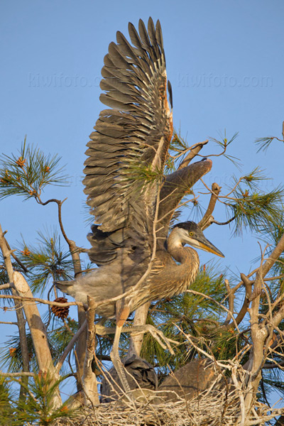 Great Blue Heron Image @ Kiwifoto.com