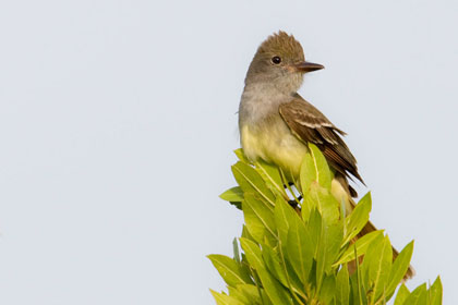 Great Crested Flycatcher Picture @ Kiwifoto.com