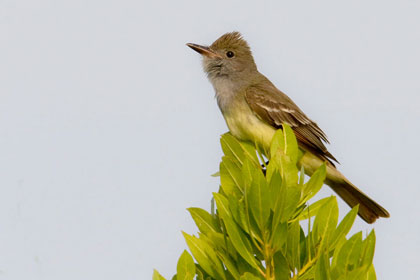 Great Crested Flycatcher Photo @ Kiwifoto.com