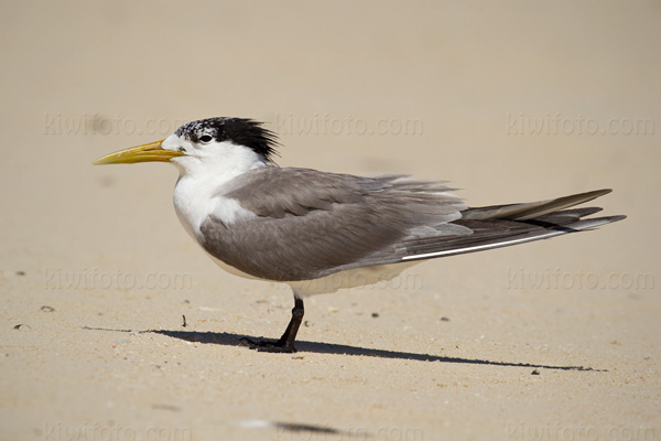 Great Crested Tern Picture @ Kiwifoto.com
