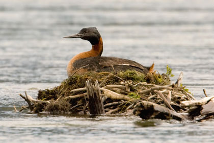 Great Grebe Picture @ Kiwifoto.com