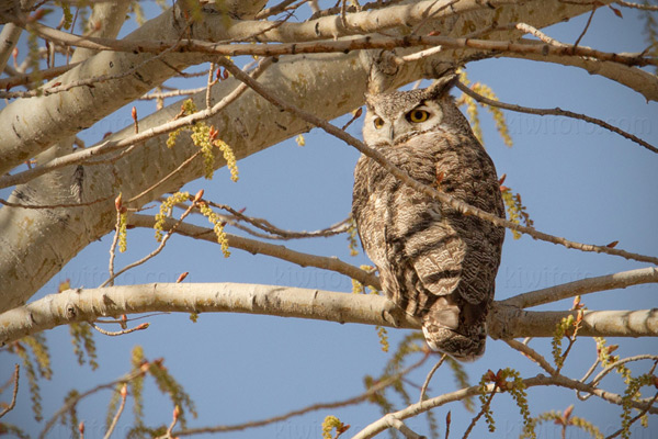 Great Horned Owl Image @ Kiwifoto.com
