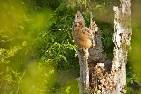Great Horned Owl Picture @ Kiwifoto.com