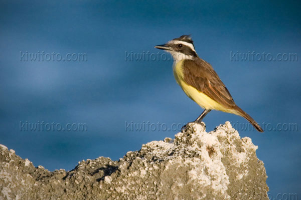 Great Kiskadee Picture @ Kiwifoto.com