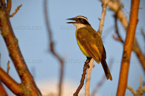 Great Kiskadee Photo @ Kiwifoto.com