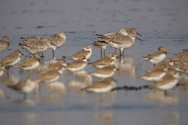 Great Knot Photo @ Kiwifoto.com