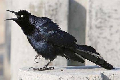 Great-tailed Grackle Photo @ Kiwifoto.com