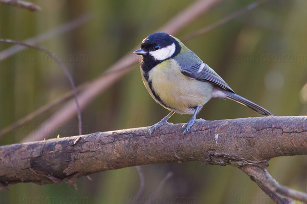 Great Tit Photo @ Kiwifoto.com